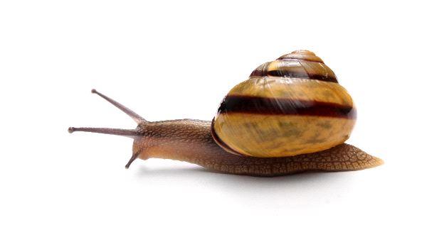 Snail_On_White_Background_600